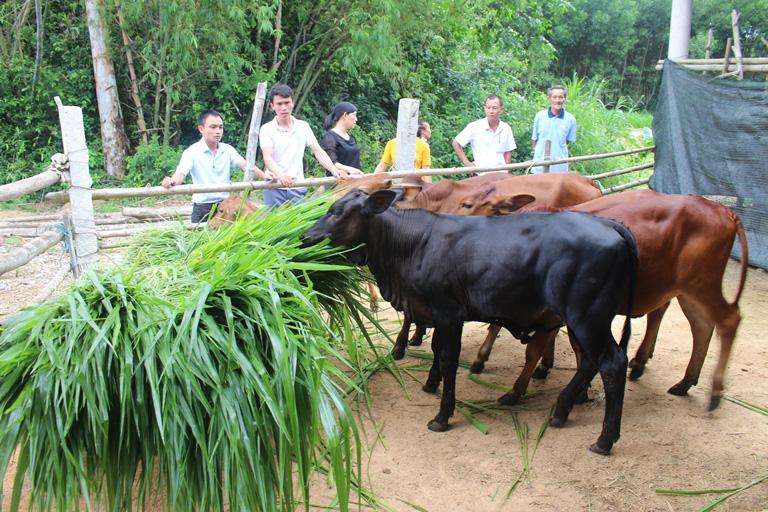 """Giá bò hơi tăng cao, thương lái lùng mua bò """"khổng lồ"""" 3B, đặt tiền trước - Ảnh 2."""