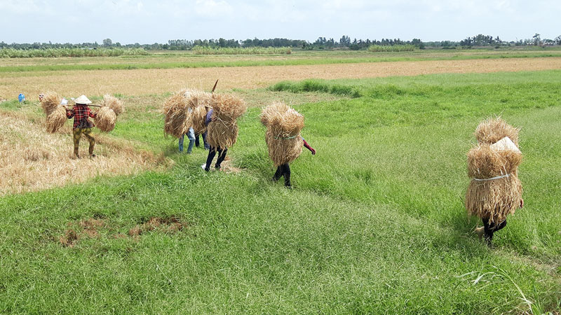 Bến Tre: Vì sao nông dân vùng đất này không thuê máy gặt mà bỏ nhiều tiền hơn thuê người cắt lúa bằng tay? - Ảnh 1.