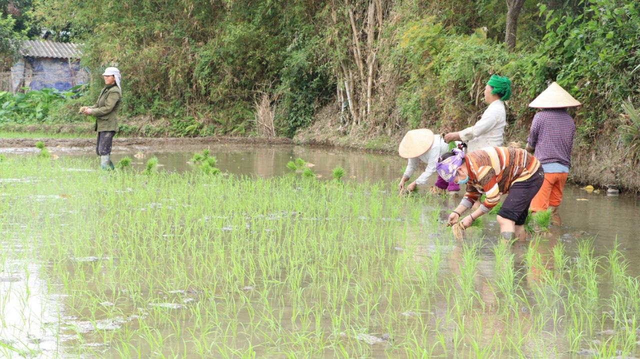 Phù Yên: Trồng lúa hữu cơ, lợi nhuận tăng hơn 8 triệu đồng so với lúa thông thường  - Ảnh 3.