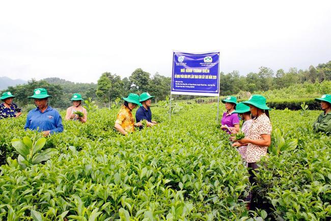 Tăng năng suất cho cây chè Phú Thọ - Ảnh 1.