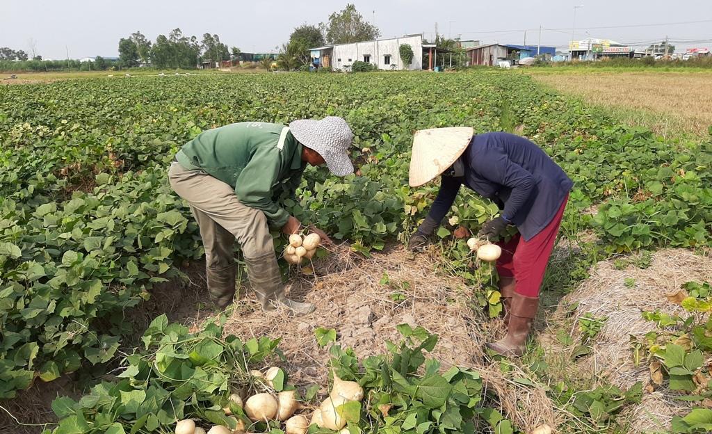 Đồng Nai: Sợ trồng củ này rồi bỏ khô trên đồng, nông dân bỏ trồng rồi nhìn thương lái đổ xô mua giá cao - Ảnh 1.