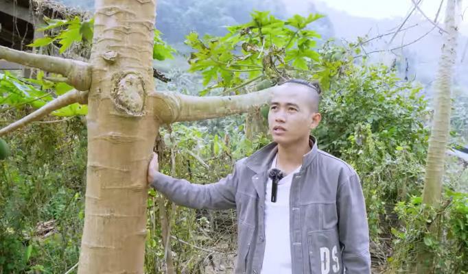 Lạ lùng cây đu đủ có đến 16 cành ra quả ở Cao Bằng - Ảnh 2.