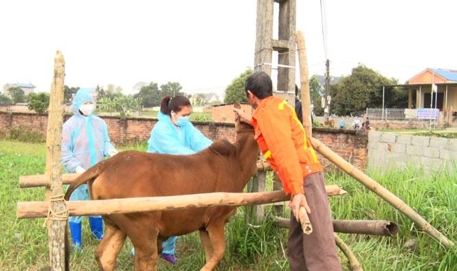 Sông Công – Thái Nguyên: Công bố dịch viêm da nổi cục trên trâu bò - Ảnh 1.