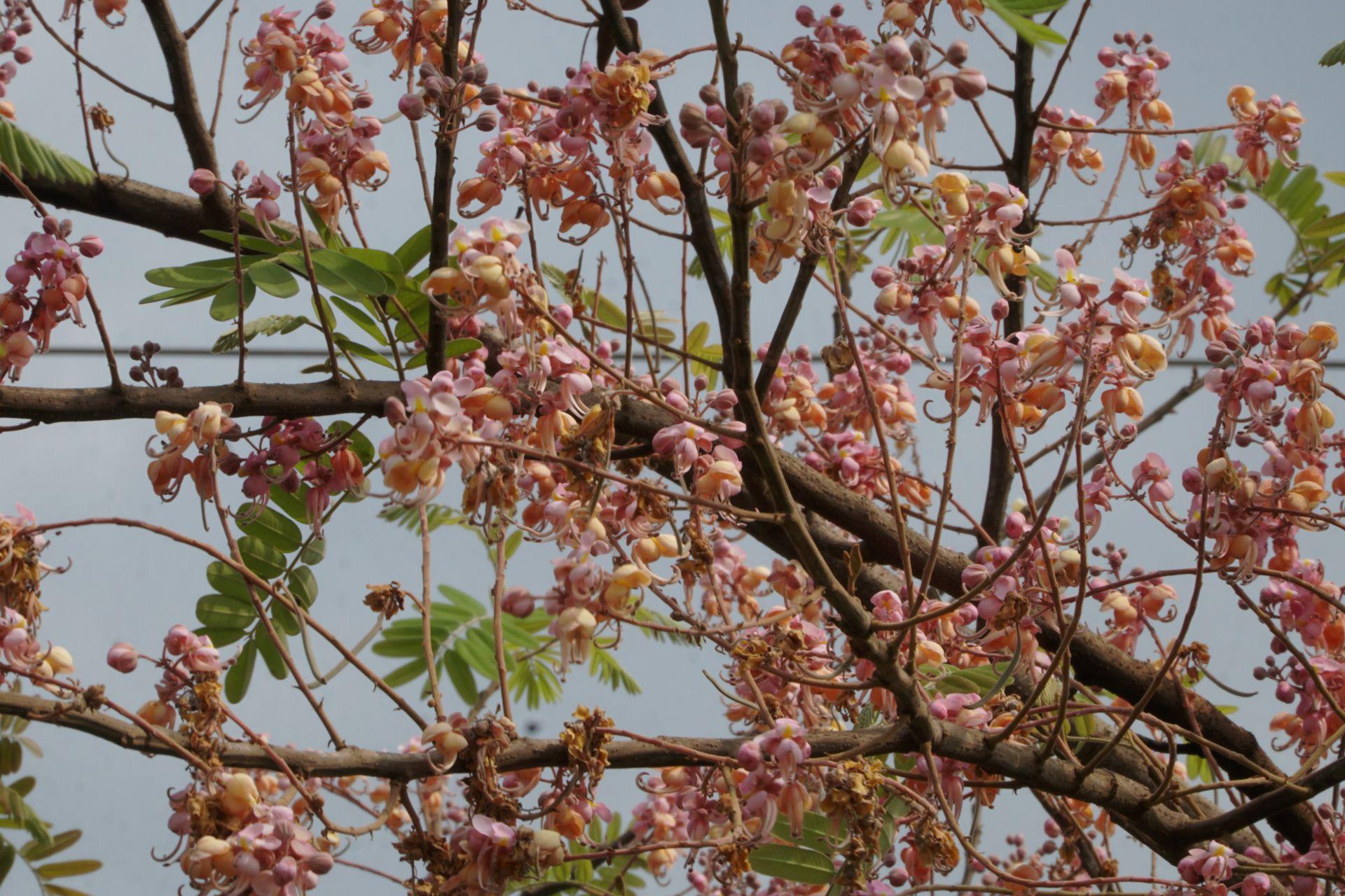 """Loài hoa gì ở miền Tây """"lên"""" tận tỉnh Tây Ninh nở quá trời, ai ngắm cũng thấy đẹp mê li, thốt lên trầm trồ? - Ảnh 2."""