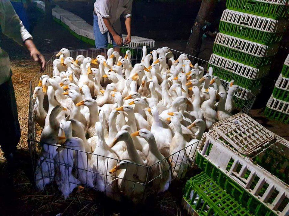 Giá gia cầm hôm nay 25/3: Giá vịt thịt ba miền ngang bằng nhau, gà công nghiệp chững giá - Ảnh 1.