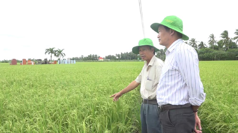 Tiền Giang: Né hạn mặn, nông dân vùng này trồng lúa hướng hữu cơ xuất khẩu châu Âu và thu lãi lớn - Ảnh 3.