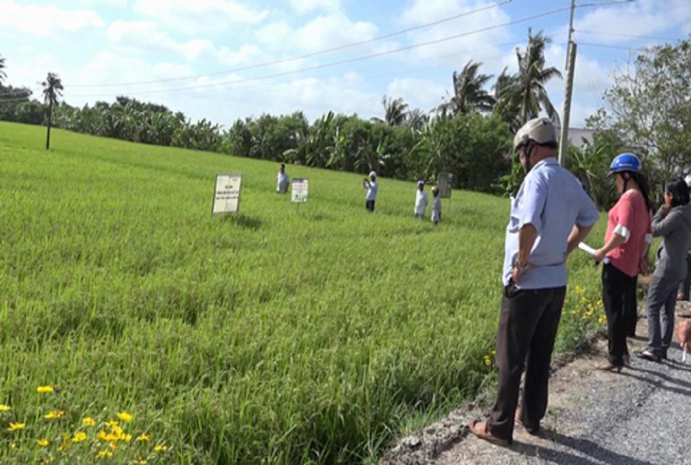 Tiền Giang: Né hạn mặn, nông dân vùng này trồng lúa hướng hữu cơ xuất khẩu châu Âu và thu lãi lớn - Ảnh 1.