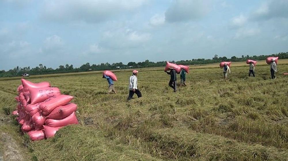 Tiền Giang: Né hạn mặn, nông dân vùng này trồng lúa hướng hữu cơ xuất khẩu châu Âu và thu lãi lớn - Ảnh 4.