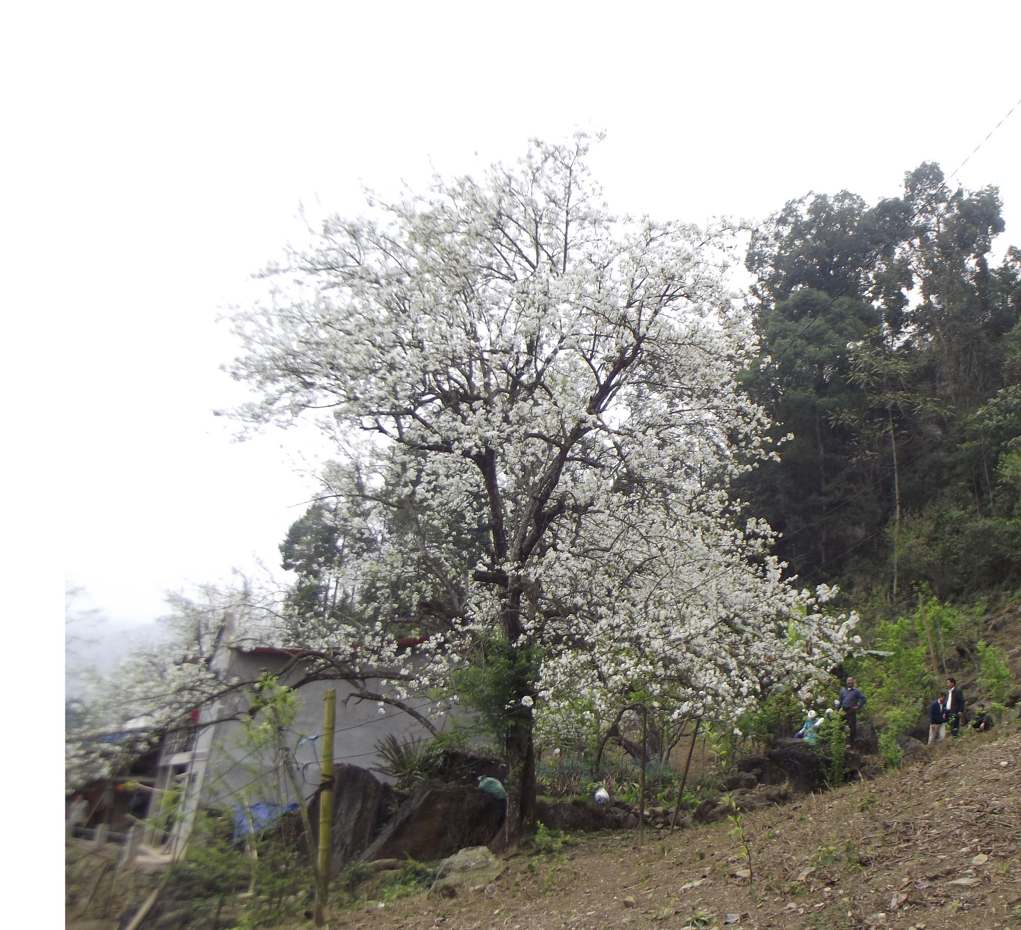 Lào Cai: Du khách đổ xô đến ngắm 3 cây lê cổ thụ, mọc trắng xóa sau nhà trình tường ở Bắc Hà - Ảnh 1.
