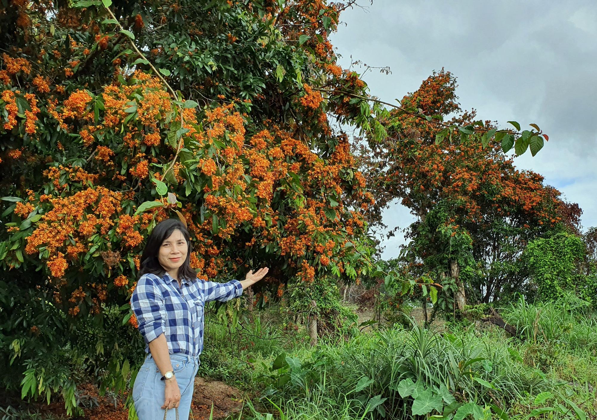 Phú Yên: Đẹp mê mẩn hoa trang rừng cổ thụ bung nở rực rỡ - Ảnh 6.