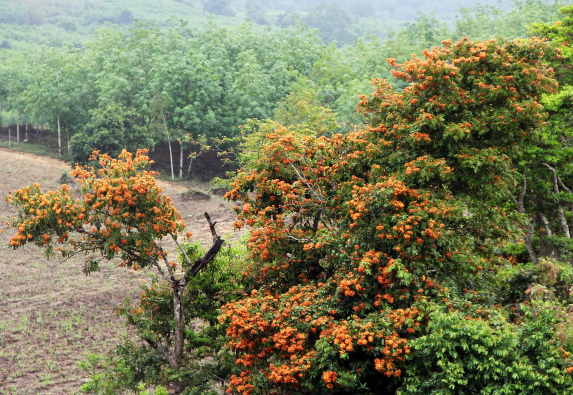 Phú Yên: Đẹp mê mẩn hoa trang rừng cổ thụ bung nở rực rỡ - Ảnh 1.