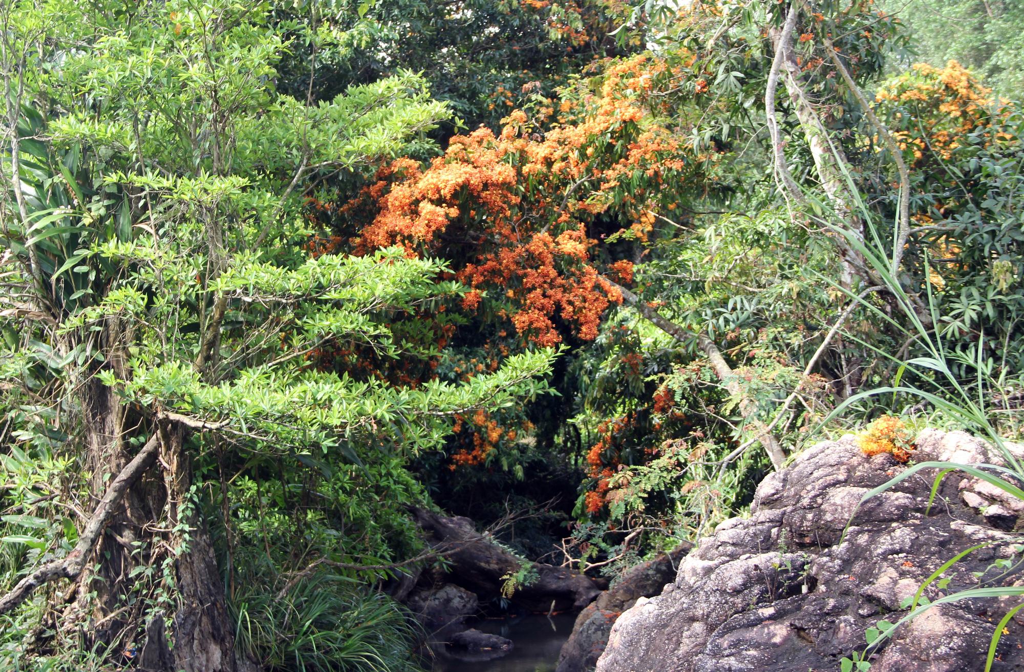Phú Yên: Đẹp mê mẩn hoa trang rừng cổ thụ bung nở rực rỡ - Ảnh 4.