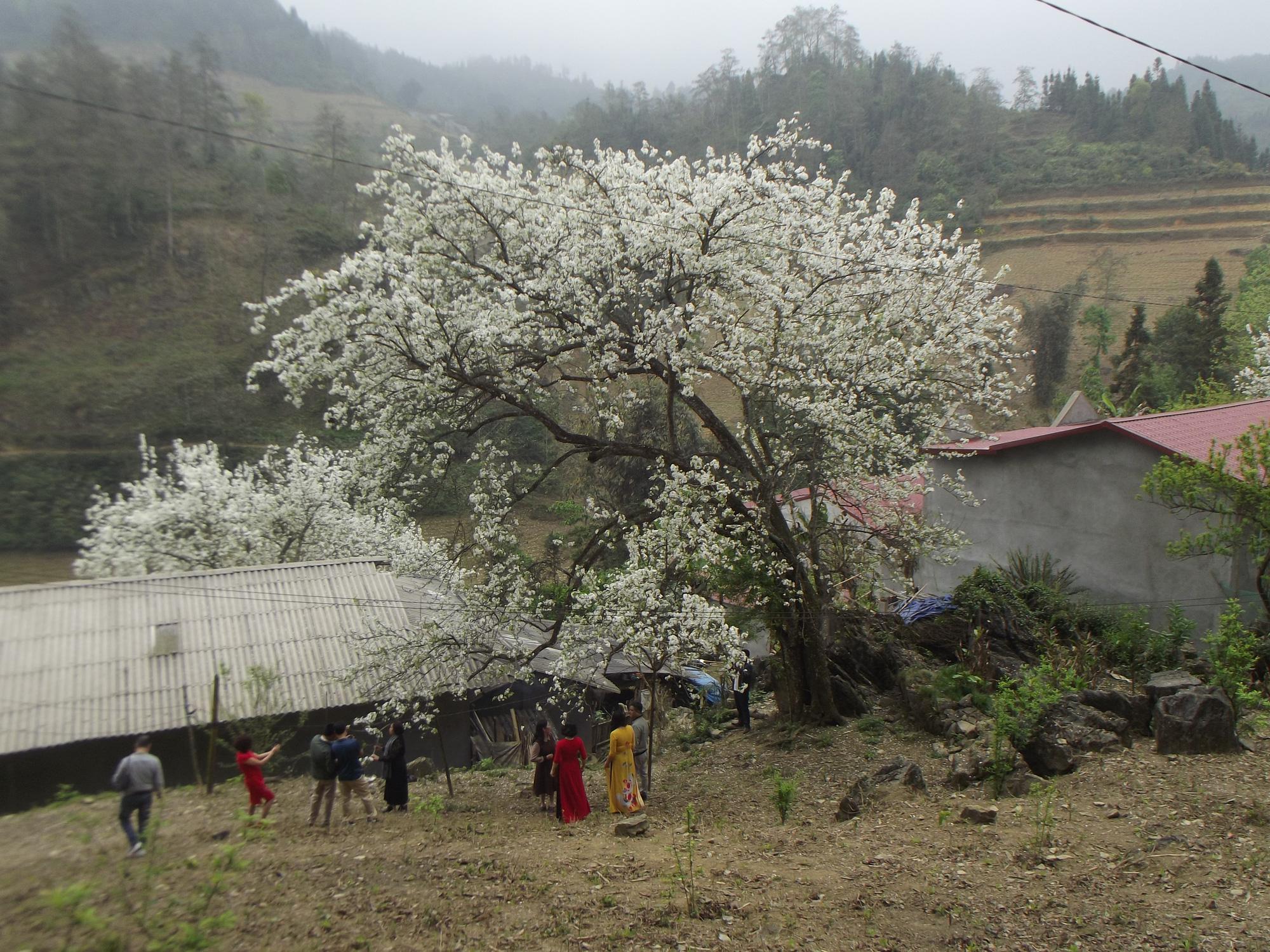 Lào Cai: Du khách đổ xô đến ngắm 3 cây lê cổ thụ, mọc trắng xóa sau nhà trình tường ở Bắc Hà - Ảnh 4.