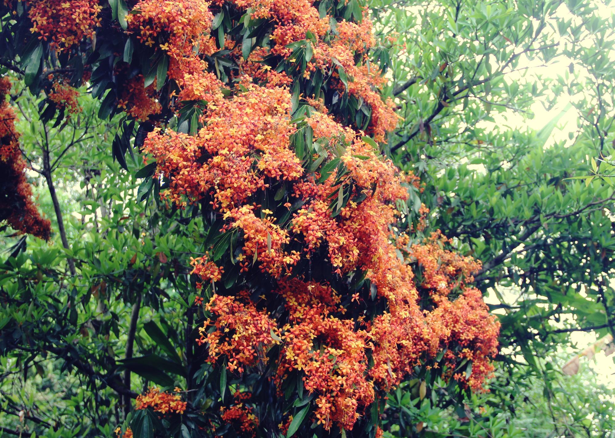 Phú Yên: Đẹp mê mẩn hoa trang rừng cổ thụ bung nở rực rỡ - Ảnh 2.
