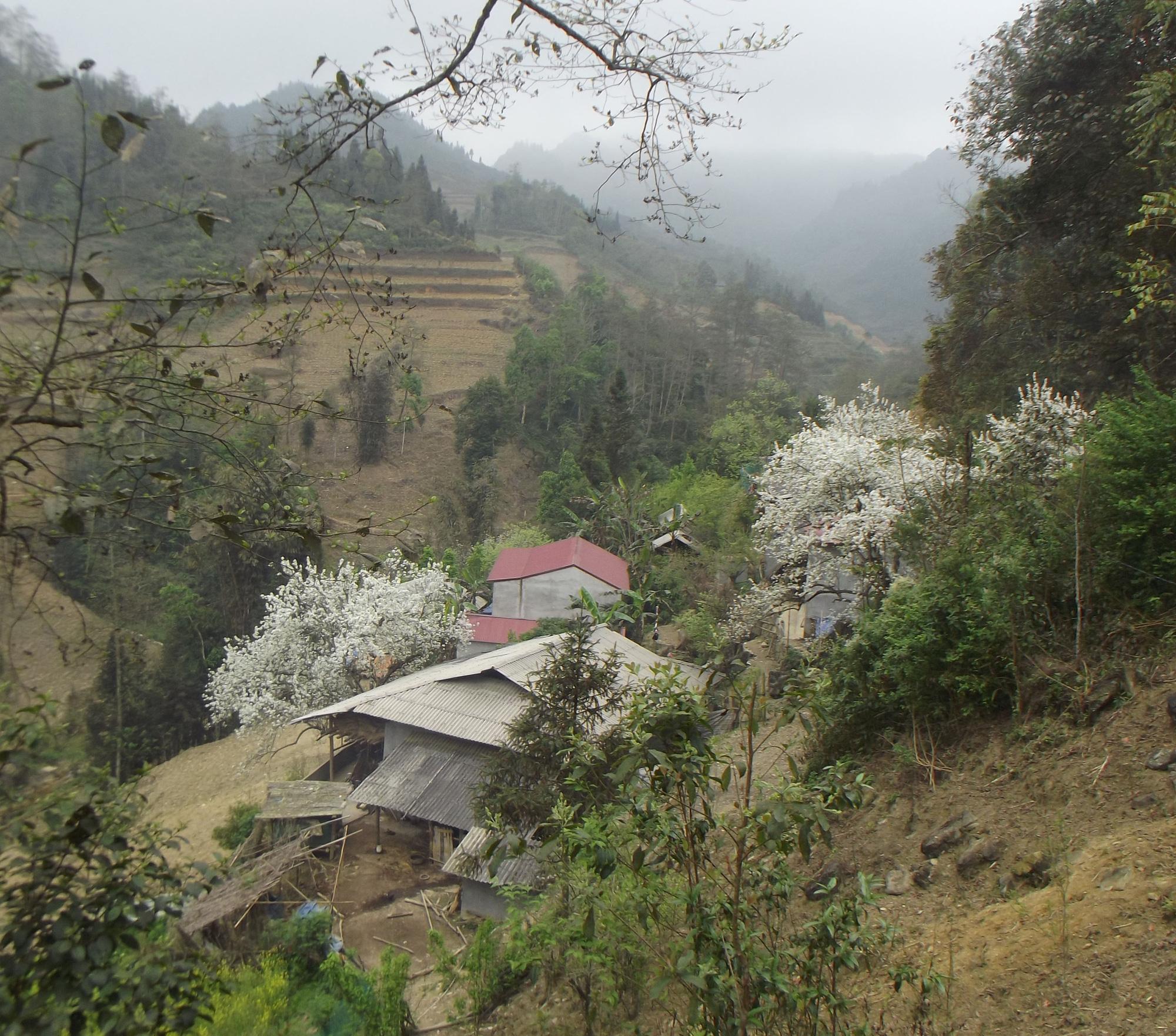 Lào Cai: Du khách đổ xô đến ngắm 3 cây lê cổ thụ, mọc trắng xóa sau nhà trình tường ở Bắc Hà - Ảnh 5.
