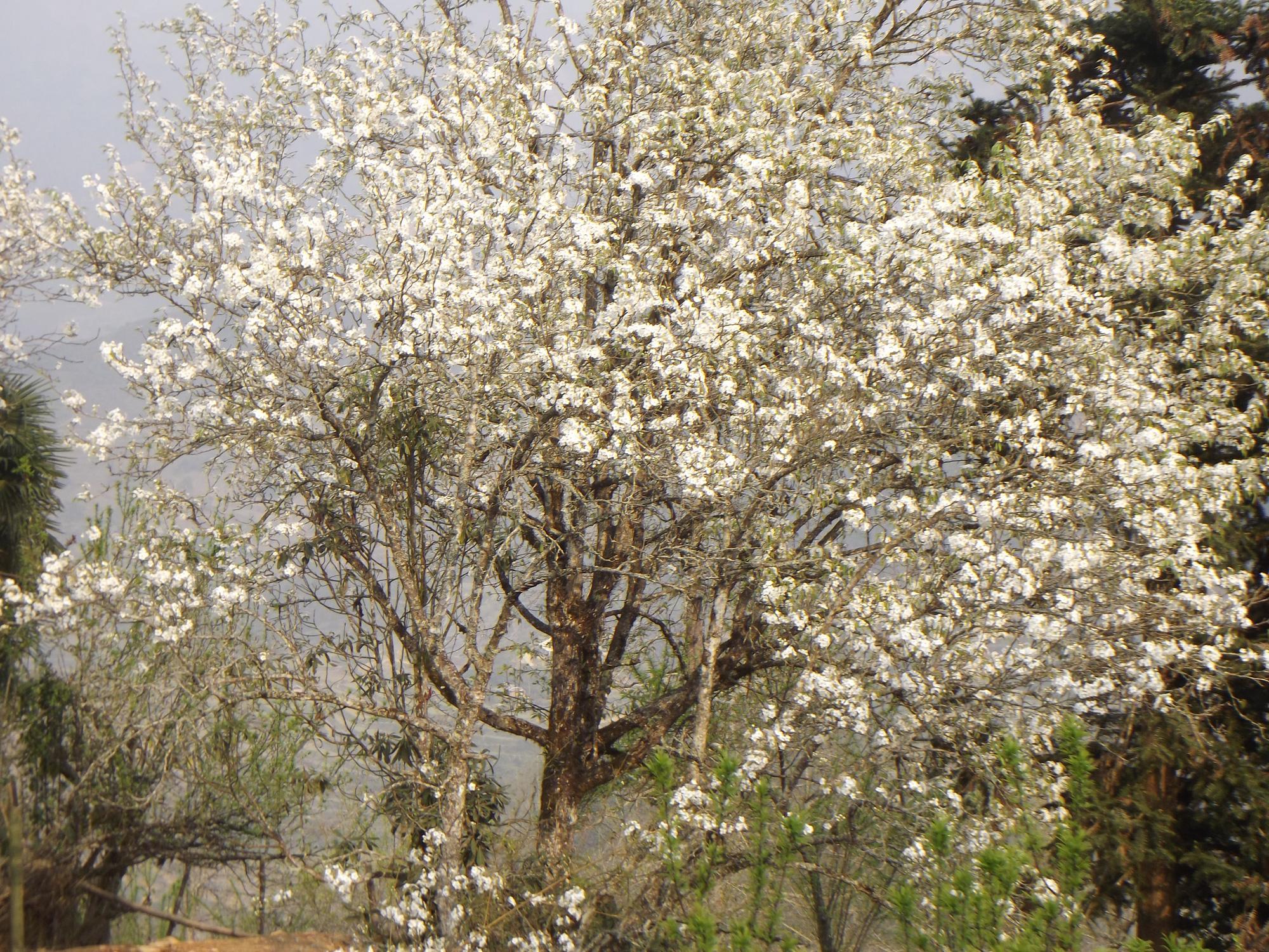 Lào Cai: Du khách đổ xô đến ngắm 3 cây lê cổ thụ, mọc trắng xóa sau nhà trình tường ở Bắc Hà - Ảnh 3.
