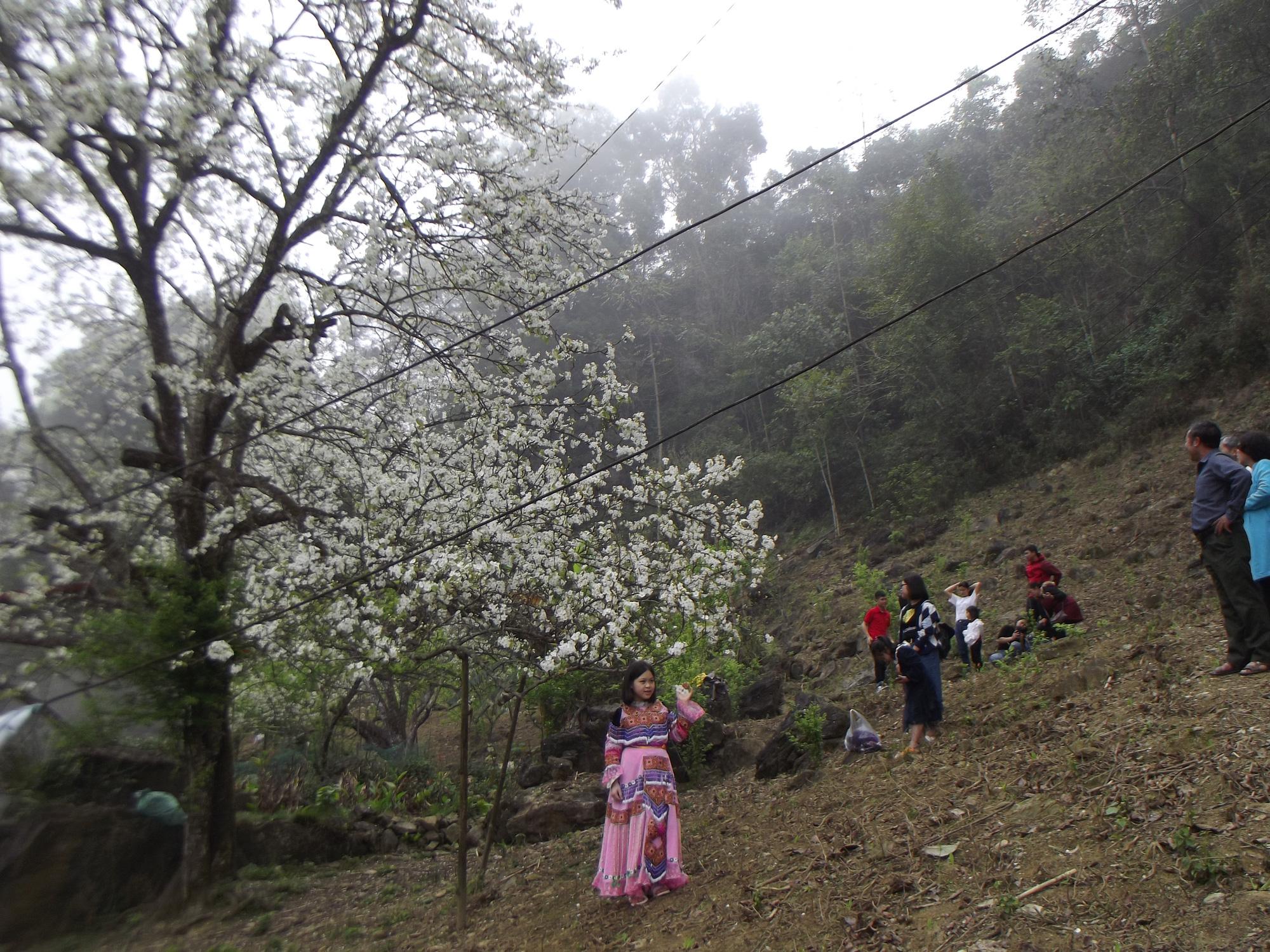 Lào Cai: Du khách đổ xô đến ngắm 3 cây lê cổ thụ, mọc trắng xóa sau nhà trình tường ở Bắc Hà - Ảnh 6.