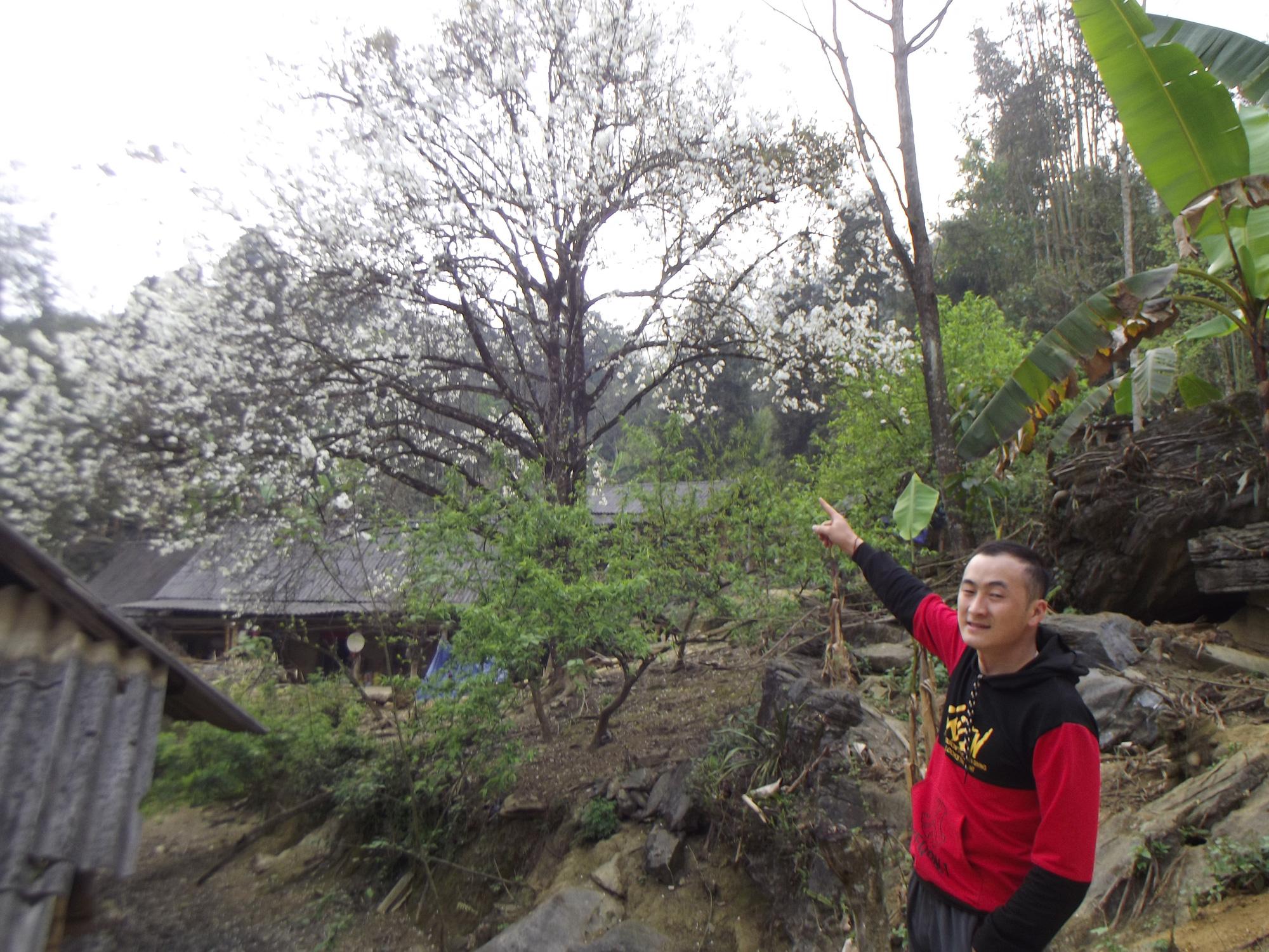 Lào Cai: Du khách đổ xô đến ngắm 3 cây lê cổ thụ, mọc trắng xóa sau nhà trình tường ở Bắc Hà - Ảnh 8.