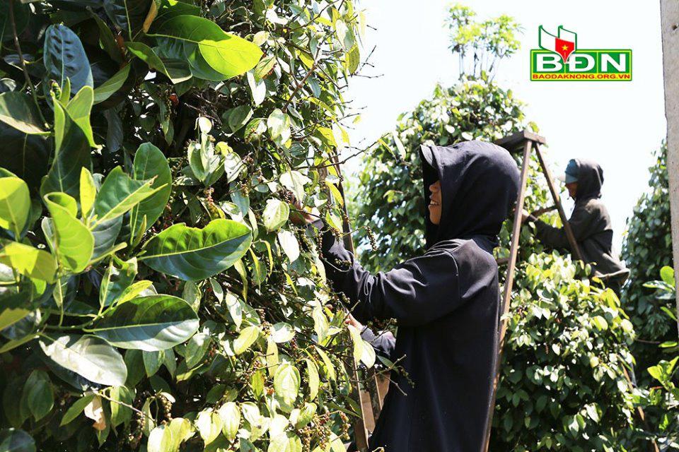 Đắk Nông: Giá tiêu tăng cao, ông nông dân này trồng tiêu kiểu gì mà mỗi ngày phải thuê 70 người vô vườn hái? - Ảnh 1.