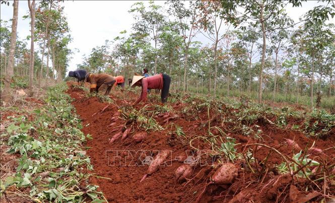 """Gia Lai: Trồng thứ cây sau 3 tháng là hết bò, bới đất khẽ củ lộ ra cả đống, thương lái """"khuân"""" luôn tại ruộng - Ảnh 1."""