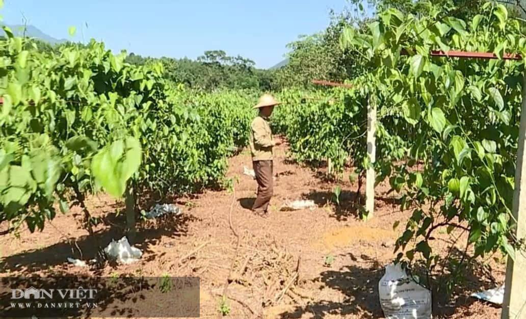 Phú Thọ: Đưa cây lạ có nguồn gốc từ Nam Mỹ về trồng, bất ngờ cho thu nhập không tưởng - Ảnh 2.