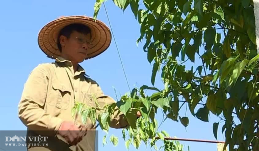 Phú Thọ: Đưa cây lạ có nguồn gốc từ Nam Mỹ về trồng, bất ngờ cho thu nhập không tưởng - Ảnh 3.