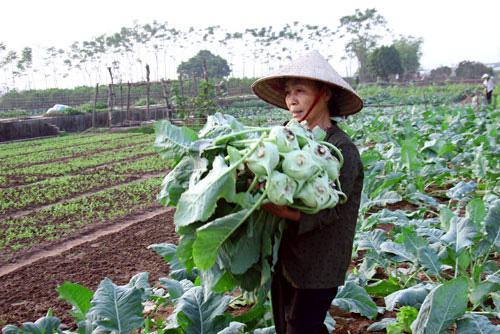 Đa lợi ích từ trồng rau VietGAP - Ảnh 1.
