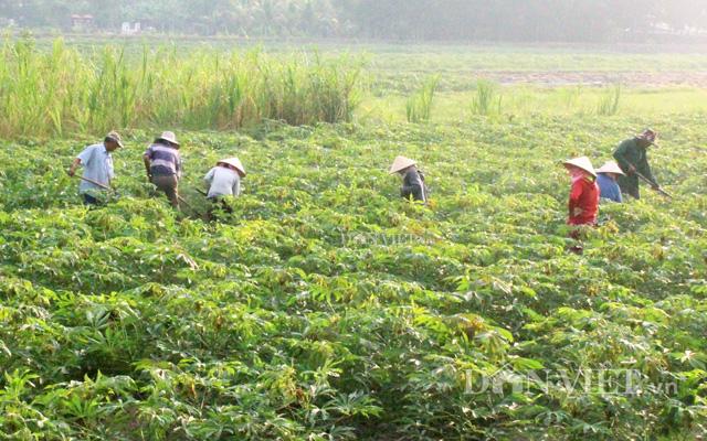 Diện tích sắn nhiễm bệnh khảm lan rộng khắp Tây Ninh và nhiều tỉnh thành khác trong cả nước