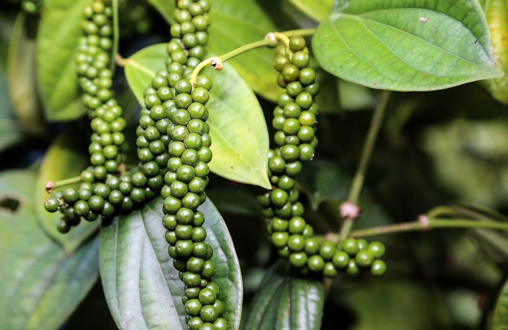 Giá nông sản hôm nay 29/3: Giá tiêu thấp nhất 72.000đ/kg, cà phê ổn định - Ảnh 1.