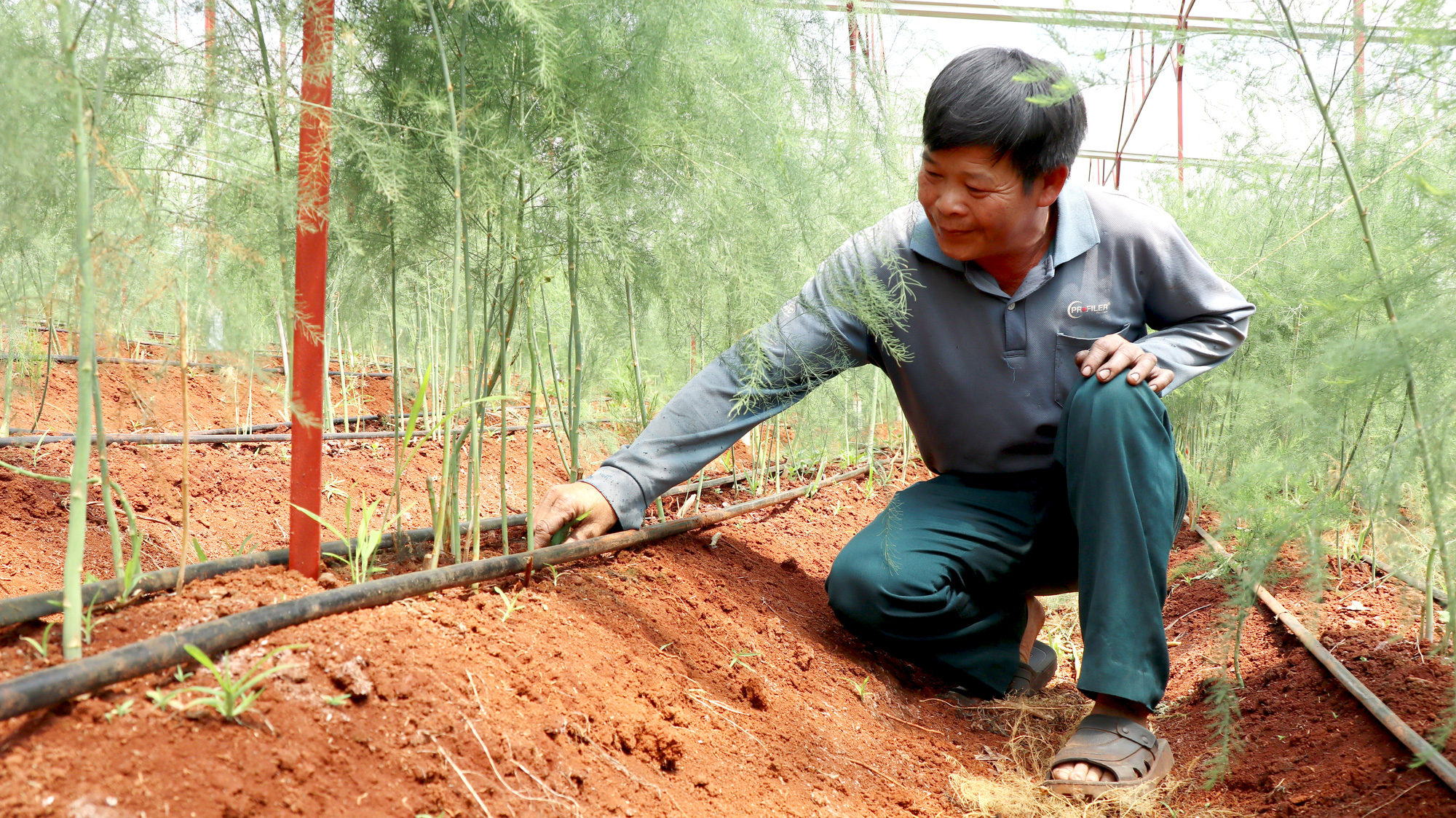 Trồng măng tây xanh, lão nông này có lợi nhuận gấp 4-5 lần cà phê - Ảnh 1.
