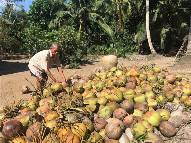 Trà Vinh: Giá dừa khô tăng lên 85 nghìn/chục, nguồn cung khan hiếm - Ảnh 1.