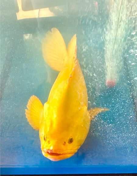 Âm thầm thả cá mú vàng về biển, dù được trả giá hàng trăm triệu đồng - Ảnh 2.