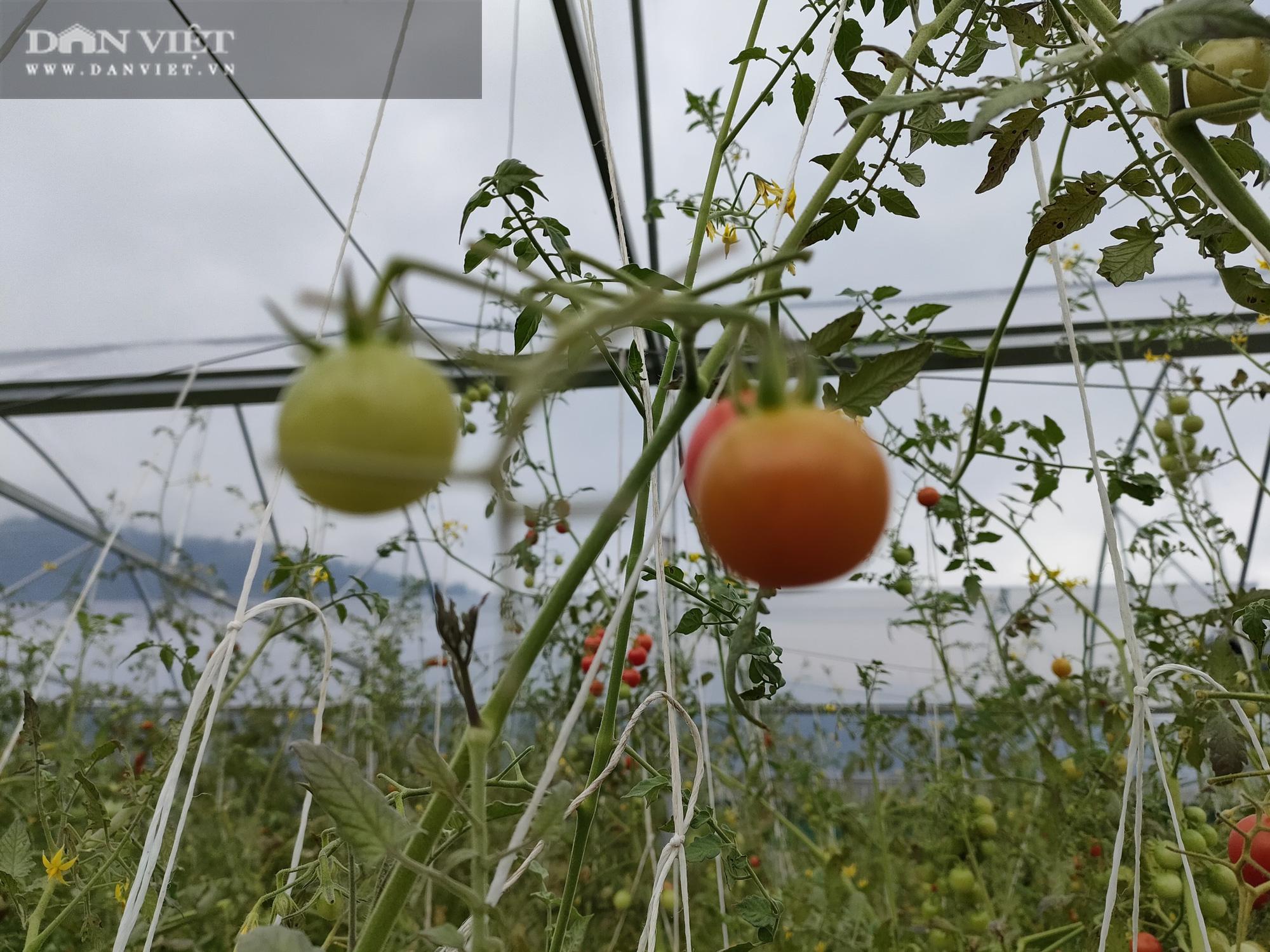 """Ngắm vườn cà chua chuỗi ngọc mọc """"chi chít"""" quả trên đồi - Ảnh 6."""