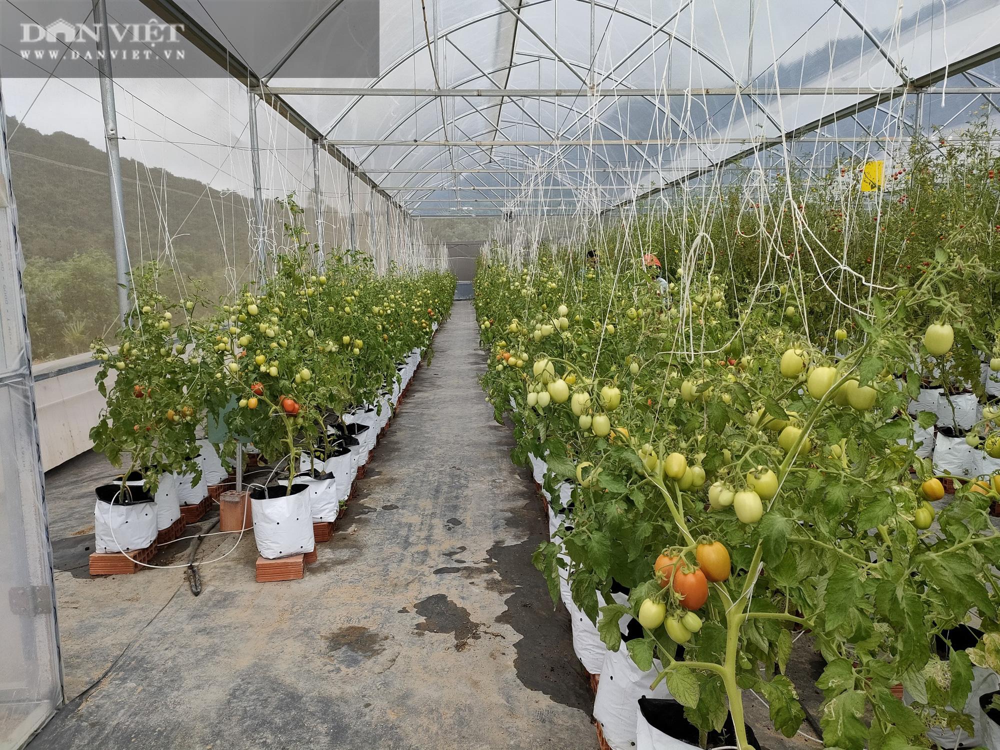 """Ngắm vườn cà chua chuỗi ngọc mọc """"chi chít"""" quả trên đồi - Ảnh 11."""