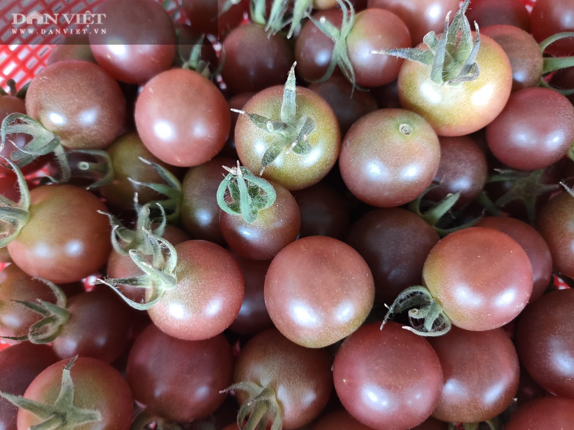 """Ngắm vườn cà chua chuỗi ngọc mọc """"chi chít"""" quả trên đồi - Ảnh 15."""