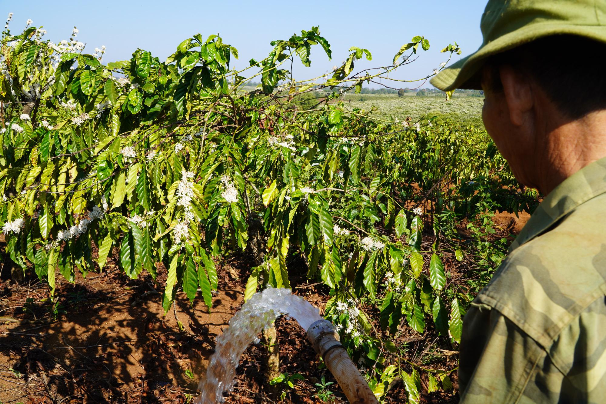 Nông dân Gia Lai hối hả đưa máy móc tưới cho cà phê sai quả - Ảnh 1.