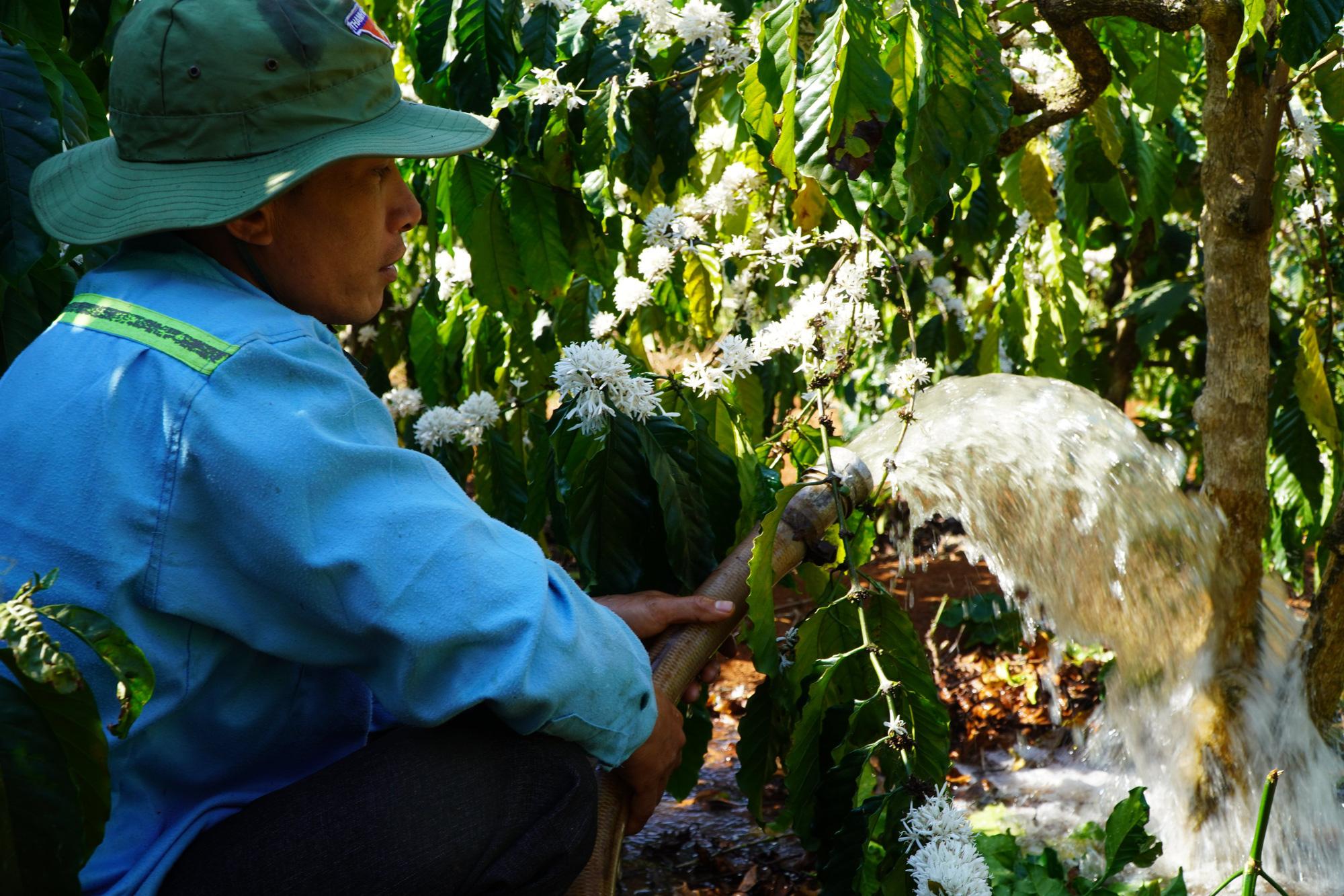 Nông dân Gia Lai hối hả đưa máy móc tưới cho cà phê sai quả - Ảnh 2.