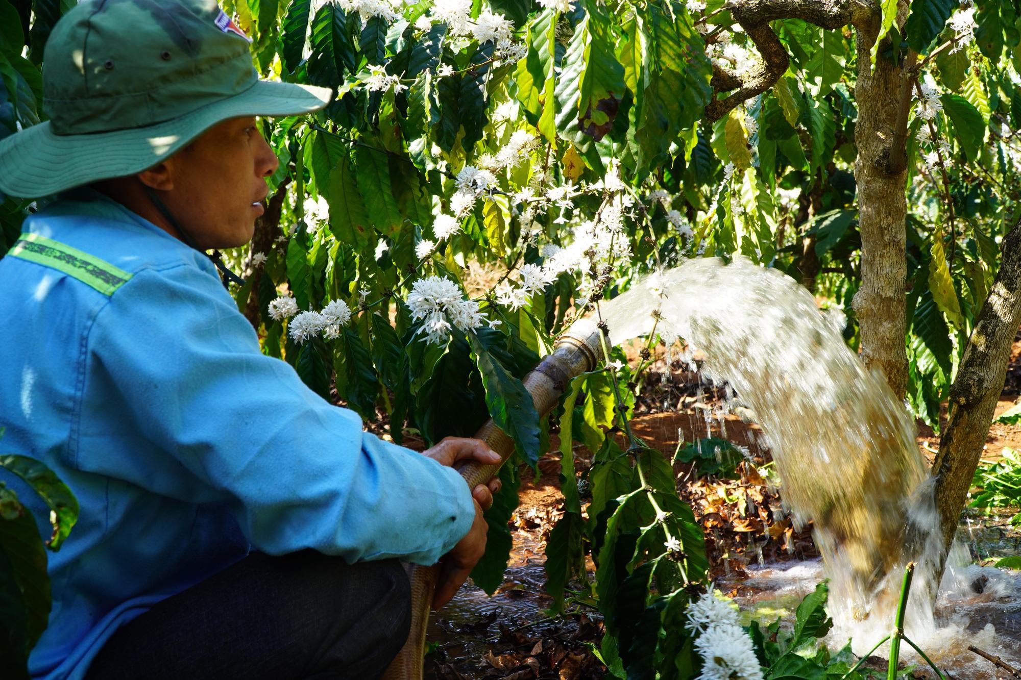 Nông dân Gia Lai hối hả đưa máy móc tưới cho cà phê sai quả - Ảnh 7.