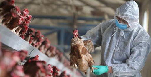 Cúm A H5N8 lây từ gà sang người nguy hiểm như thế nào mà cả WHO và FAO phải cảnh báo Việt Nam? - Ảnh 1.
