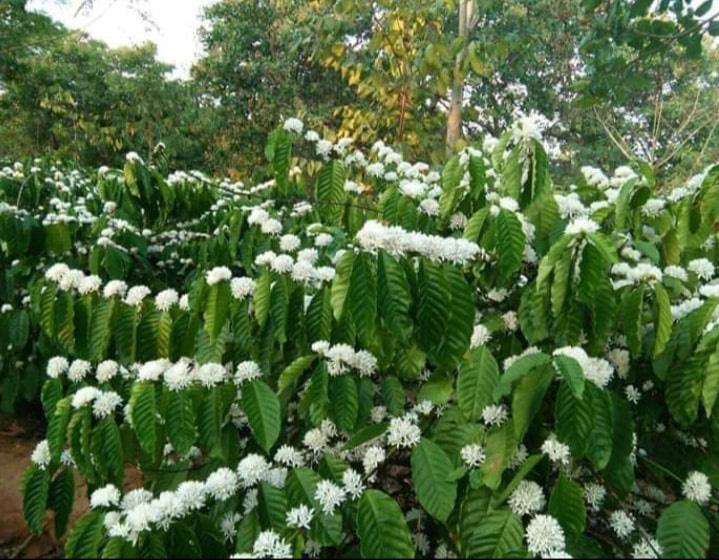Tháng 3, bạt ngàn sắc trắng tinh khôi hoa cà phê tại đại ngàn Tây Nguyên - Ảnh 9.