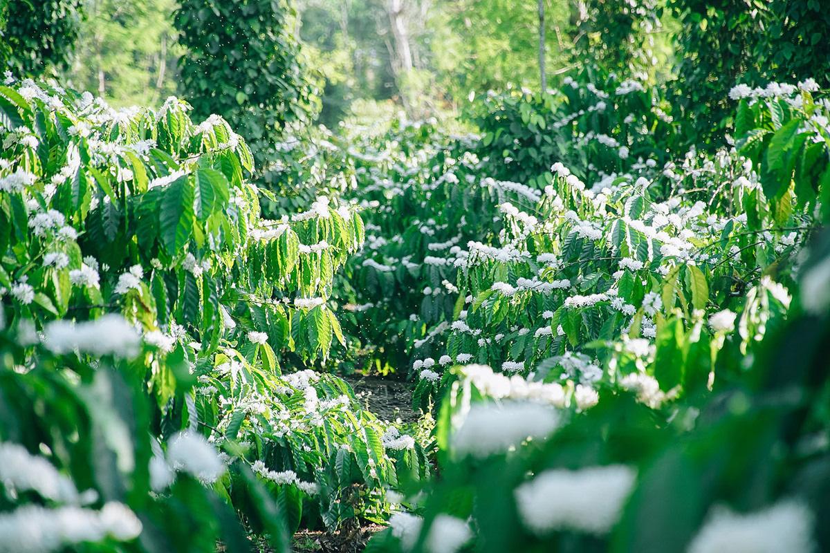 Tháng 3, bạt ngàn sắc trắng tinh khôi hoa cà phê tại đại ngàn Tây Nguyên - Ảnh 10.