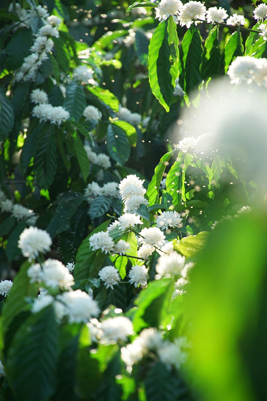 Tháng 3, bạt ngàn sắc trắng tinh khôi hoa cà phê tại đại ngàn Tây Nguyên - Ảnh 11.
