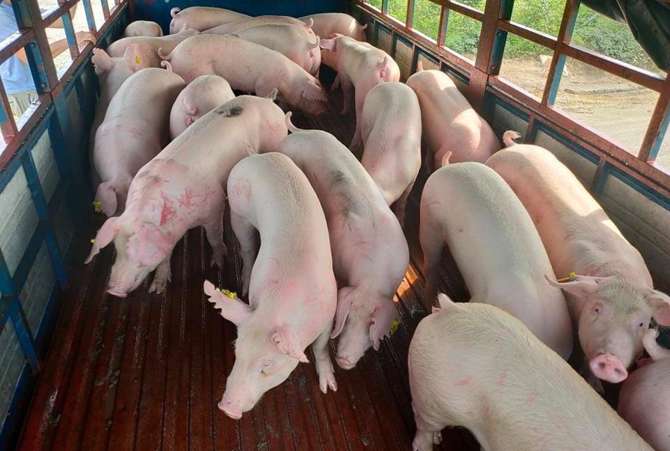 Phạt 4 doanh nghiệp nhập lợn sống từ Thái Lan - Ảnh 1.