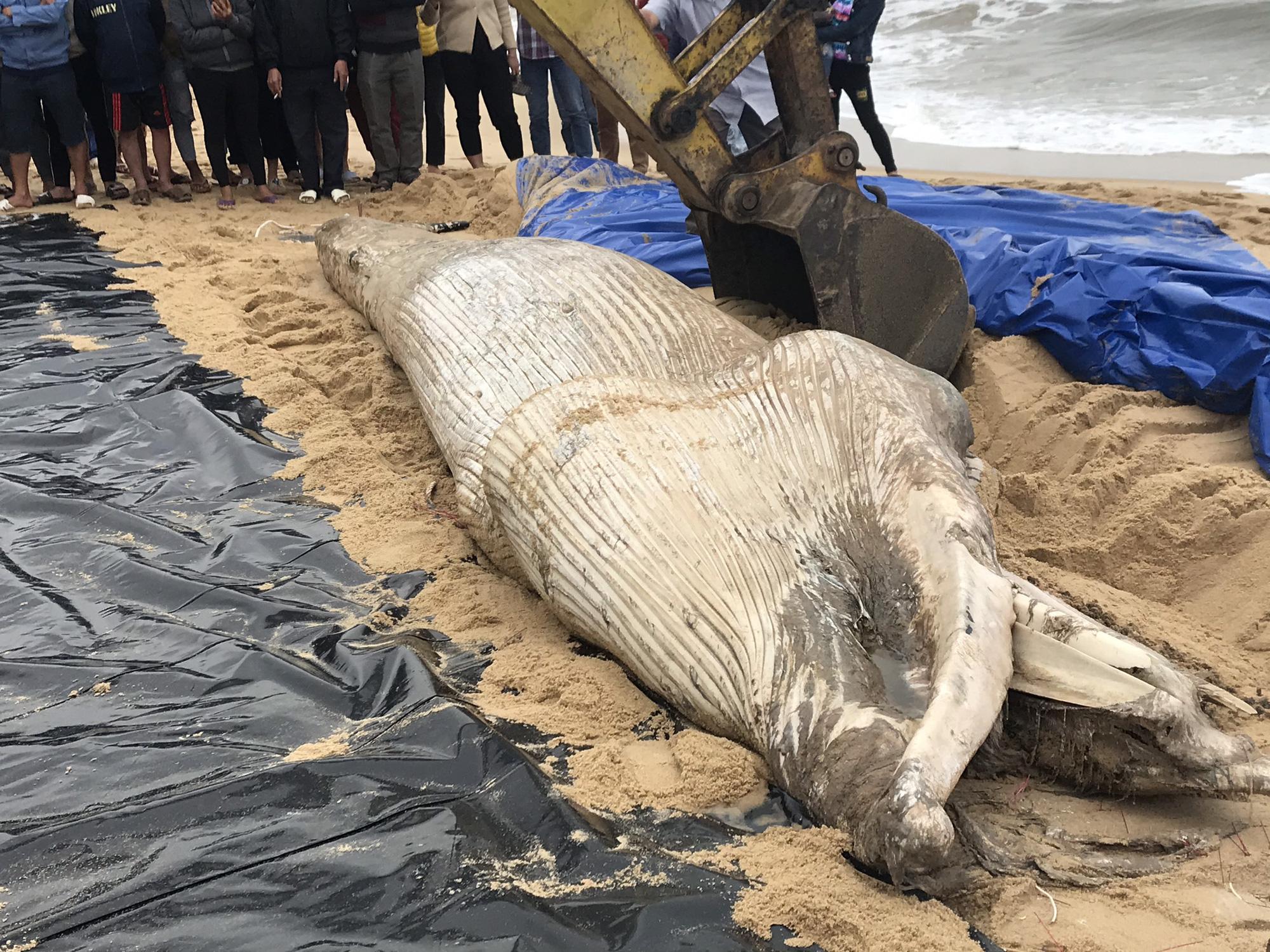 Phát hiện xác cá voi nặng một tấn dạt vào bờ biển Quảng Bình - Ảnh 1.