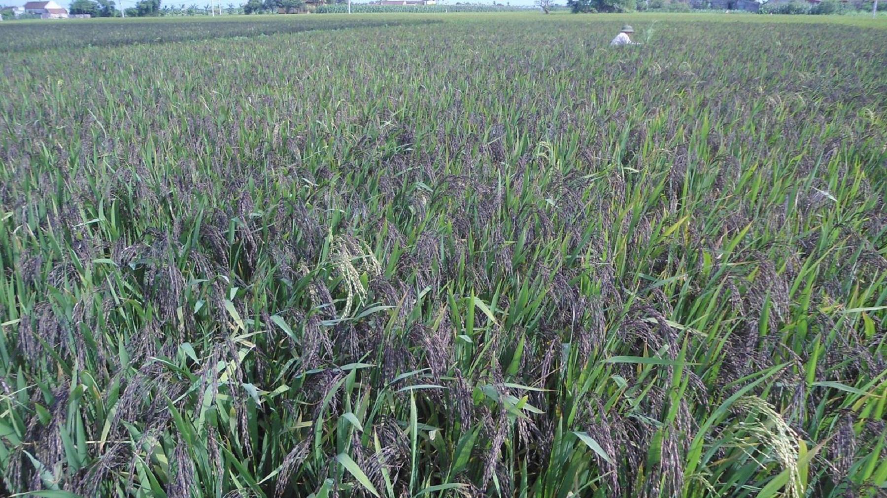 """Long An: Ông nông dân đưa loại lúa tím lịm này về """"rốn phèn"""", nông dân cầm chắc lợi nhuận hàng chục triệu mỗi ha - Ảnh 1."""