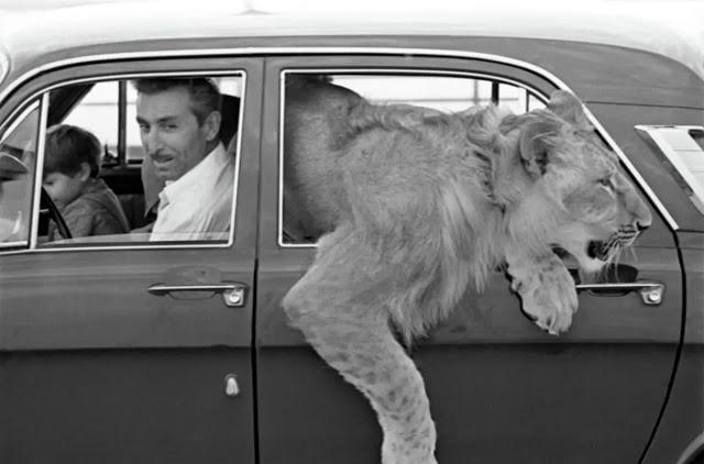 Câu chuyện vừa cảm động vừa đáng sợ về gia đình duy nhất trên thế giới nuôi sư tử như thú cưng trong nhà - Ảnh 5.