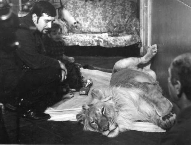 Câu chuyện vừa cảm động vừa đáng sợ về gia đình duy nhất trên thế giới nuôi sư tử như thú cưng trong nhà - Ảnh 6.