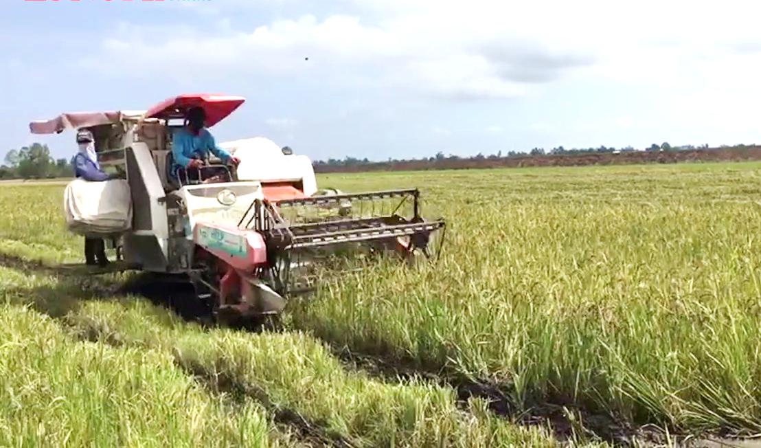 """Long An: Ông nông dân đưa loại lúa tím lịm này về """"rốn phèn"""", nông dân cầm chắc lợi nhuận hàng chục triệu mỗi ha - Ảnh 4."""