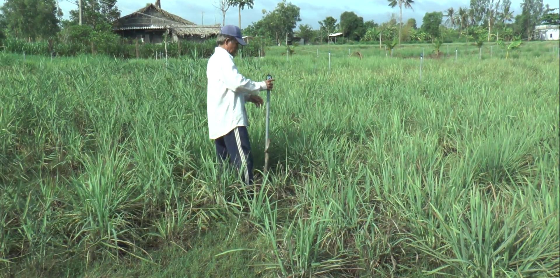 """Tiền Giang: Nhờ trồng cây gia vị này, nông dân huyện đảo nghèo nhất """"thủ phủ trái cây"""" sống phây phây - Ảnh 4."""