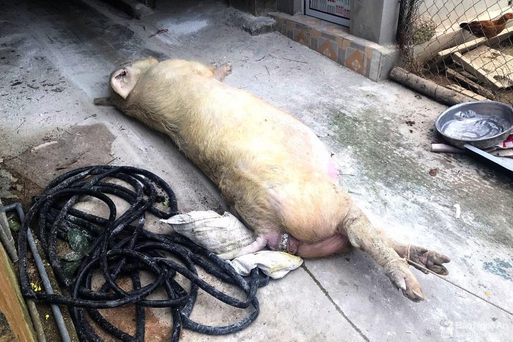 Nghệ An: Ngày nào cũng phải khiêng lợn đi tiêu hủy,  - Ảnh 2.